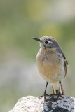 American Pipit Anthus rubescens
