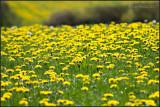 Dandies - Fields and Fields of them!