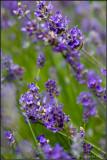 Lavender Diagonal