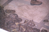 Snakes Vary in sizes from a couple feet up to 6ft plus