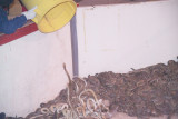 Snakes Being dumped in after being measured and weighed