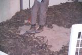 Texas Diamond Back Rattlesnakes