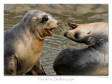 Sealion pups