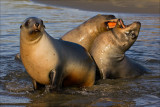 Hooker's Sea Lion pups