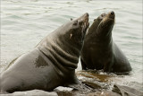 New Zealand Fur Seals (Kekeno)