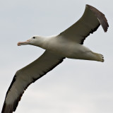 Northern Royal Albatross (Toroa)