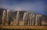 Frosted Poplars near Omarama