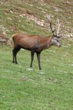 298  RED DEER STAG