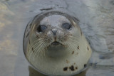 022  HARBOUR SEAL