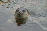 023  HARBOUR SEAL