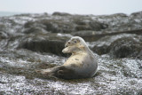 024  HARBOUR SEAL