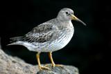 Machias Seal Island  Winter Birds