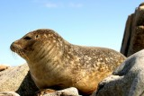 027  HARBOUR SEAL