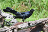 Great-tailed Grackle (M)