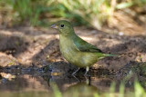 Painted Bunting (F)