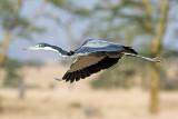 Flying Black-Headed Heron