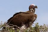 Lapped Faced Vulture (torgos tracheliotus)