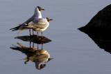 Lovers (Black-Headed Gulls, larus ridibundus)