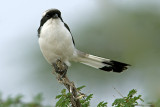 Fight Against Wind (Grey-Backed Fiscal)
