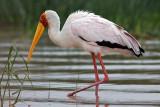 Yellow Billed Stork (mycteria ibis)