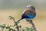 I'm Shy (Lilac Breasted Roller)