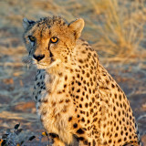 Possible Supper? (Cheetah Portrait)