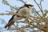 Nothern White Crowned Shrike