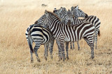 Collective Defence (Zebras)