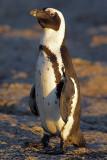 Enjoying Sunrise (Jackass Penguin)