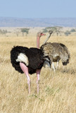 Me Too (Ostrich Family)