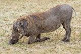 When You Don't Have Neck (Warthog Eating)