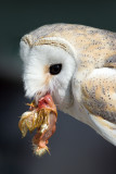 Barn Owl with Meat (tyto alba)