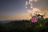 Flower and the sunset