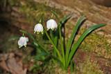 Märzenbecher (Leucojum vernum) 5