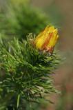 Frühlings-Adonisröschen (Adonis vernalis) 5