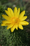 Frühlings-Adonisröschen (Adonis vernalis) 6