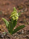 Blasses Knabenkraut (Orchis pallens) 17