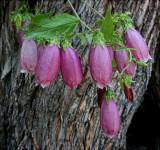 Campanula variety