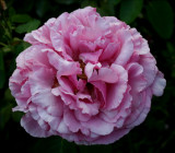 Yves Piaget ....another older bloom....I LOVE this Rose!