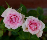 Miniature Rose  ......no label