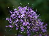 Trachelium  'Devotion Purple'      I love this plant!