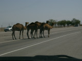 Camels in road, south of Lake Balkash