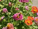 Flowers, butterflies, hopefully humming bird moth