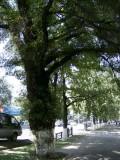 Elm (?) trees outside Kazakhstan Hotel