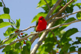 Scarlet Tanager in Mulberry Tree