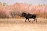 Marching Moose