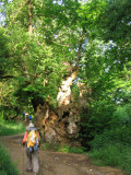 Millenarian tree in the Sarria forest