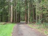 Eucalyptus forest near Arzua