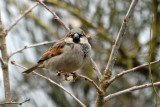 House Sparrow Thetford (Male).