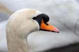 Mute Swan, Oundle